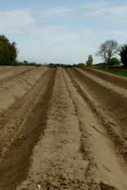 Bede sat op ved professionel dyrkning af hvide asparges her ved