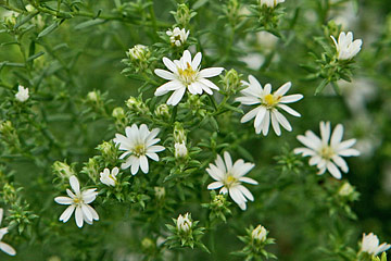 asters blomst