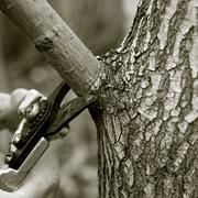 Årstid for beskæring af birketræer