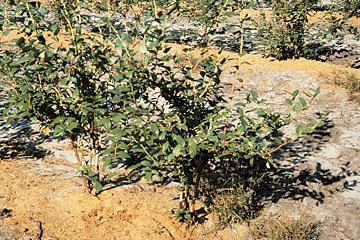 beskæring af blåbær