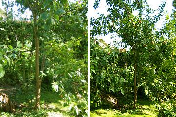 Blommetræ beskæring