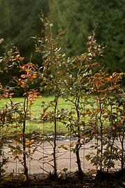 Vanding af nyplantet bøgehæk