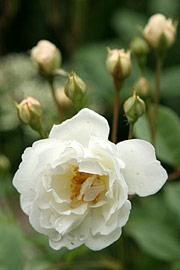 En duft af roser – dekorationer og dyrkning