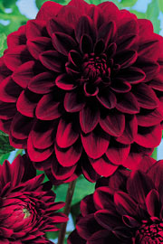 Dahlia 'Arabien Night'