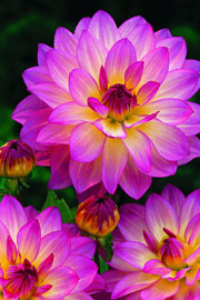 Dahlia 'Pink Attraction'