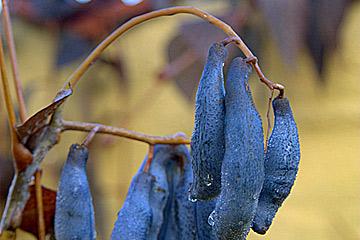 blå frugt