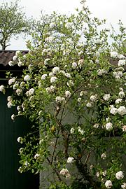 Er en letløvet busk som kan beskæres og stammes op foto karna maj