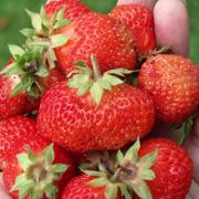 jordbær pandora