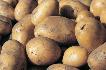 Havenytdk Optagning Og Opbevaring Af Kartofler