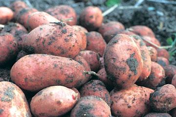 Dyrkning af kartofler i højbede