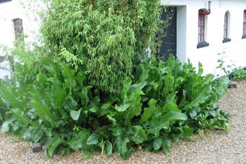 Hvor mange maiskolber på en plante