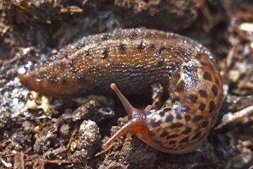 bekæmpelse af snegle i haven