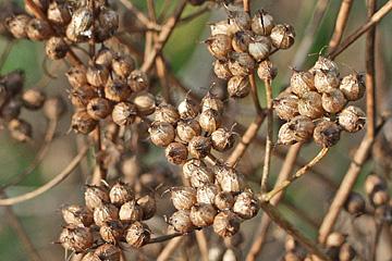 Korianderfrø på planten