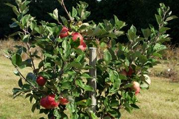 Æbletræ podet med flere sorter