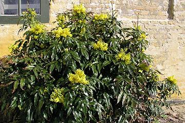 stedsegrønne buske der blomstrer