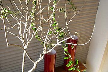 Oliventræ taber bladene