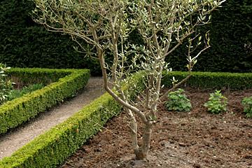 Oliventræ vinter