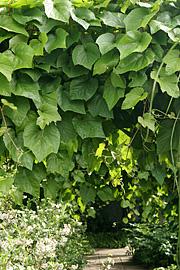 En frodig grøn pergola. haveselskabets have på frederiksberg. foto