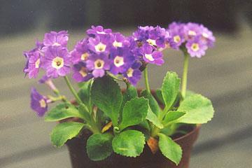 Primula pubescens hybrid