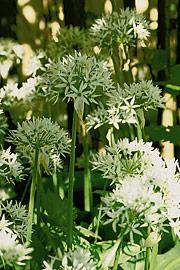 Ramsløg i blomst