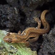 salamander i danmark