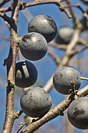 Havenyt.dk - Naturens spiselige bær