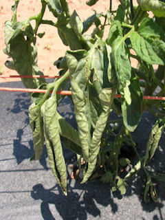 tomater i drivhus sygdomme