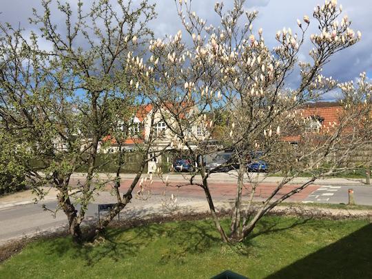 Magnolia træ beskæring