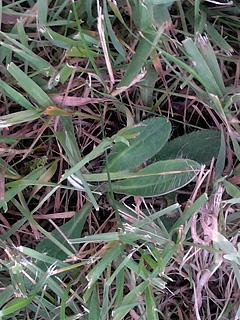 Ukrudtsplanter i græsplænen