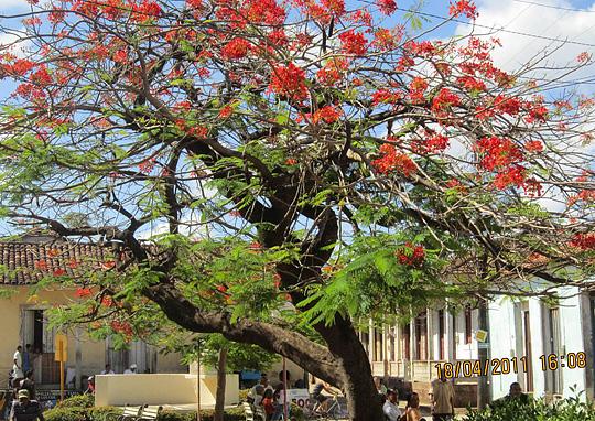 Billede af det flotte træ på cuba foto lisbeth duus