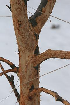 Havenyt.dk - Harerne har skrællet vores æbletræer – kan vi gøre noget?