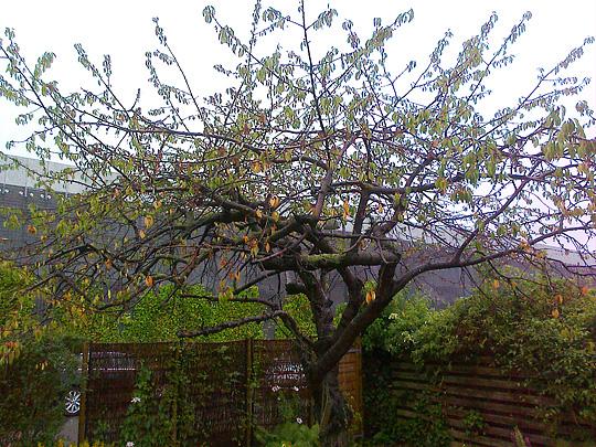 kirsebærtræ Havenyt.dk   Er det gamle kirsebærtræ sygt – og hvad fejler det? kirsebærtræ