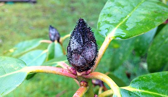 Havenyt Dk Hvorfor Dor Knopperne Pa Vores Rhododendron