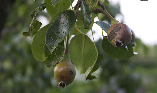 sygdom i pæretræer
