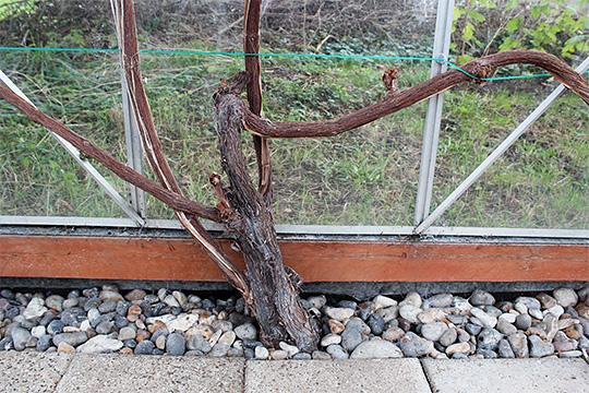 Beskæring af vin i marts