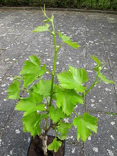 Havenyt.dk - Kan vores vinplante fra Piamonte trives i Danmark?