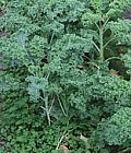 Grønkålsbedet 3. september