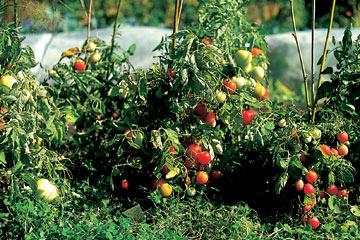 tomatplanter i drivhus