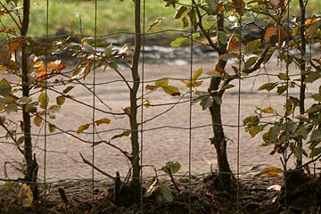 Hvordan planter man thuja