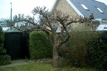 Søjleæbletræ beskæring