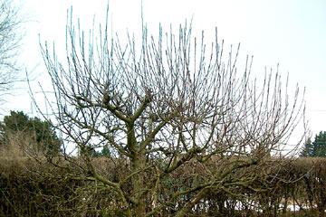 Beskæring æbletræ forår