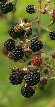 Sorte dejlig brombær – men bærrene skal lige svulme lidt mere