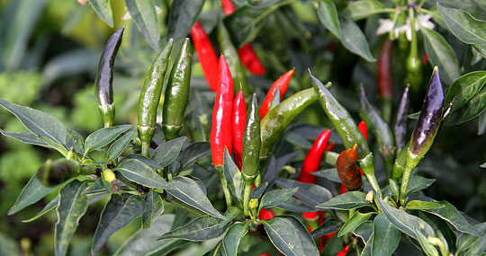Image result for chili plante