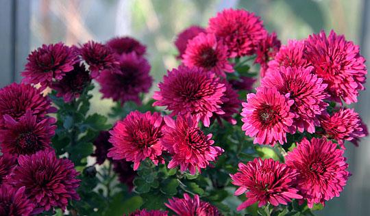 Chrysanthemum staude