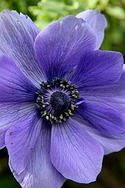 Franske anemoner kan være vanskelige men når det lykkes er det et