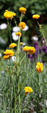 Er en haveudgave med fyldte blomster den er ikke aggressiv og