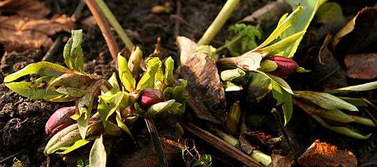Allerede i januar står helleborus orientalis med store knopper og