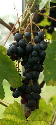 Dyrke druer drivhus