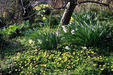 Under frugtræer er et gult tæppe af vorterod et smukt bunddække